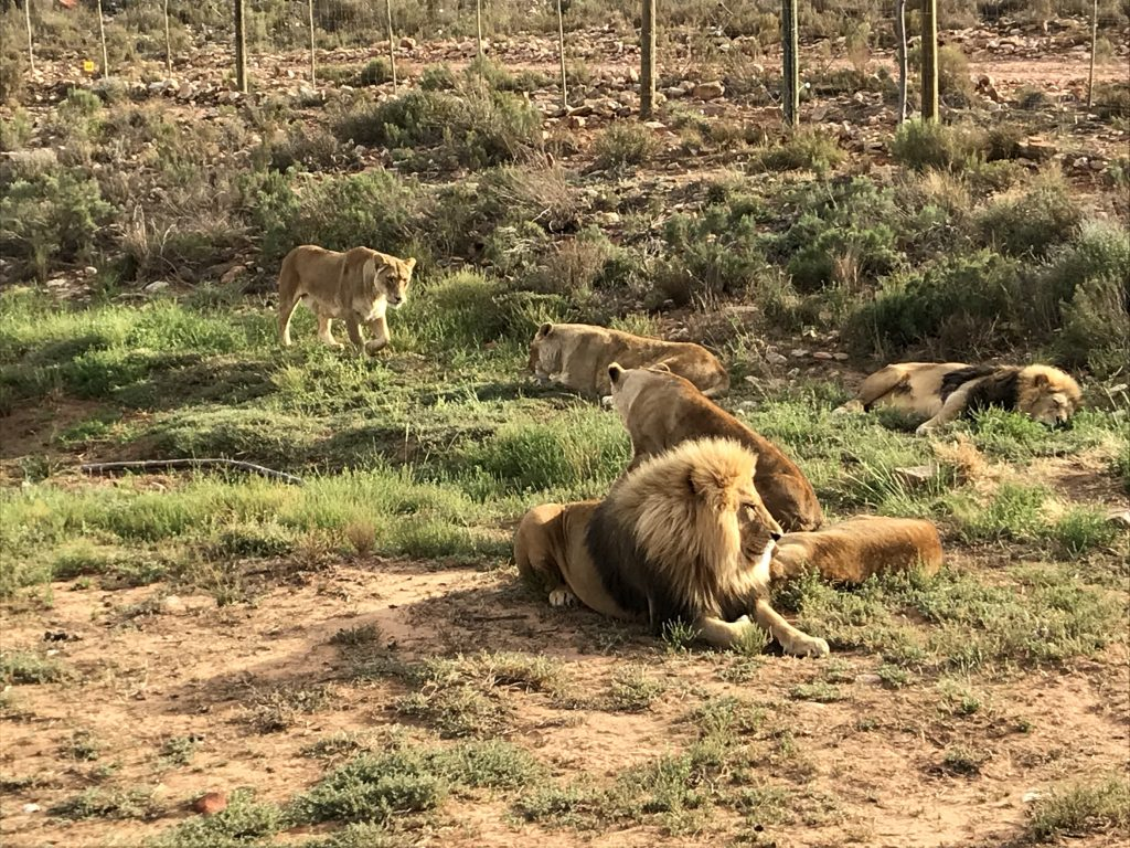 Pride of lions lazing around during our safari